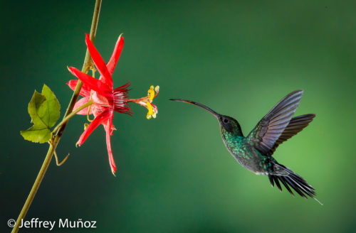 How to improve your hummingbirds Photography using HSS